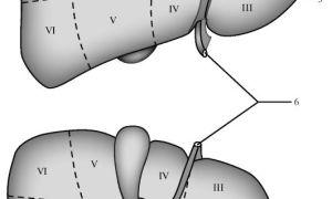 Анатомия и расположение печеночных сегментов